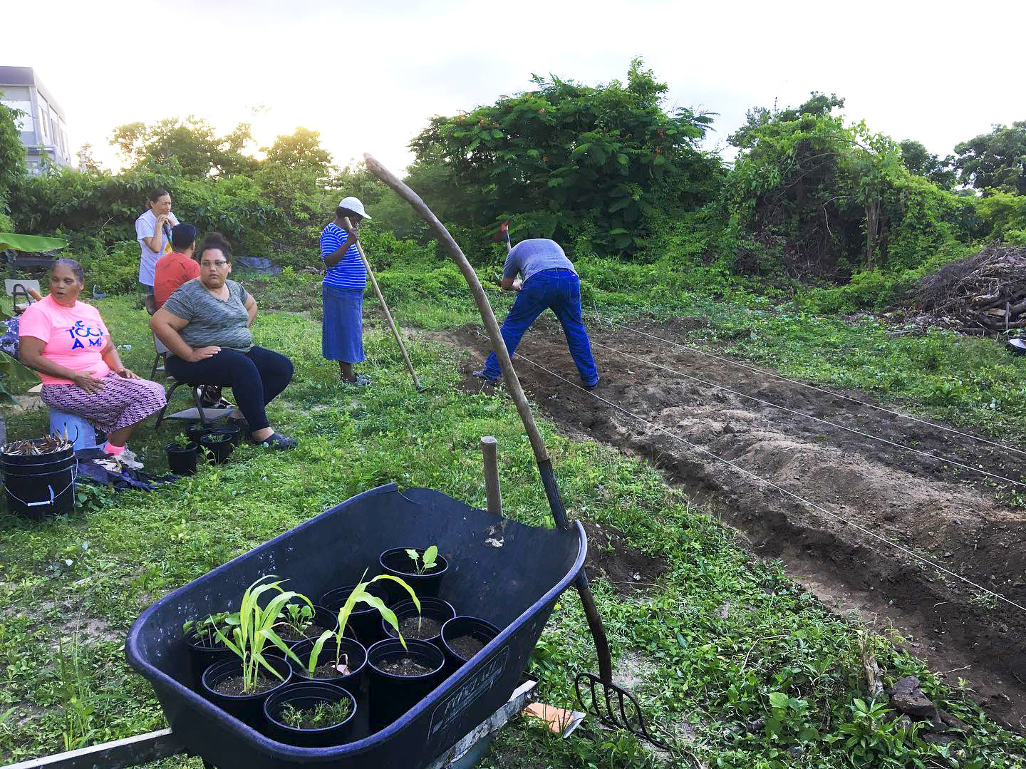 agriculture practices in Vieques, two people are near a soil bed, others are seen in the background. A wheel barrow with potted plants in black plastic planters is in the foreground. A garden hoe leans on the wheel barrow.